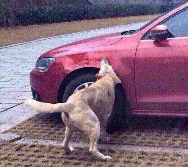 pies gryzie auto